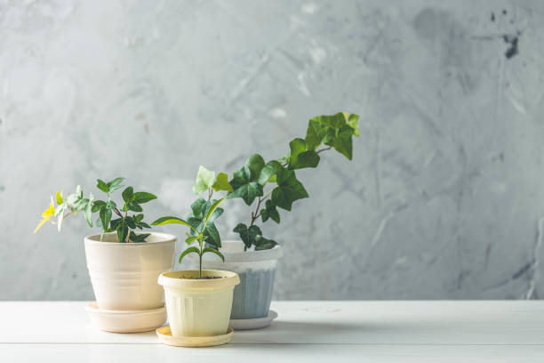 Collection of various ivy and tangerine seedling in different pots on white wooden table with grey concrete wall at background. Home decor and gardening concept. stock photo