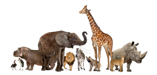 sammlung von wildtieren, isoliert auf weiss - safari tiere stock-fotos und bilder