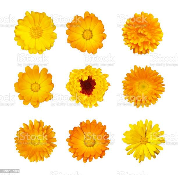 Collection of yellow and orange flowers of marigold medicinal on picture id858236988?b=1&k=6&m=858236988&s=612x612&h=ervmdvzkqnc60hvuwlak2bo czxhuui2wpaxemthvs0=