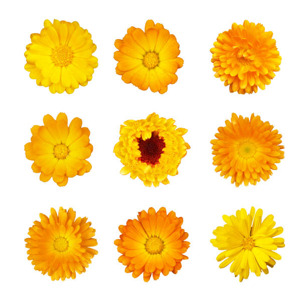 Collection of yellow and orange flowers of marigold medicinal on picture id858236988?b=1&k=6&m=858236988&s=612x612&w=0&h=zjojvb1zwofuewxe6c5pgnytuwyfxcxod3hoaqhcsok=