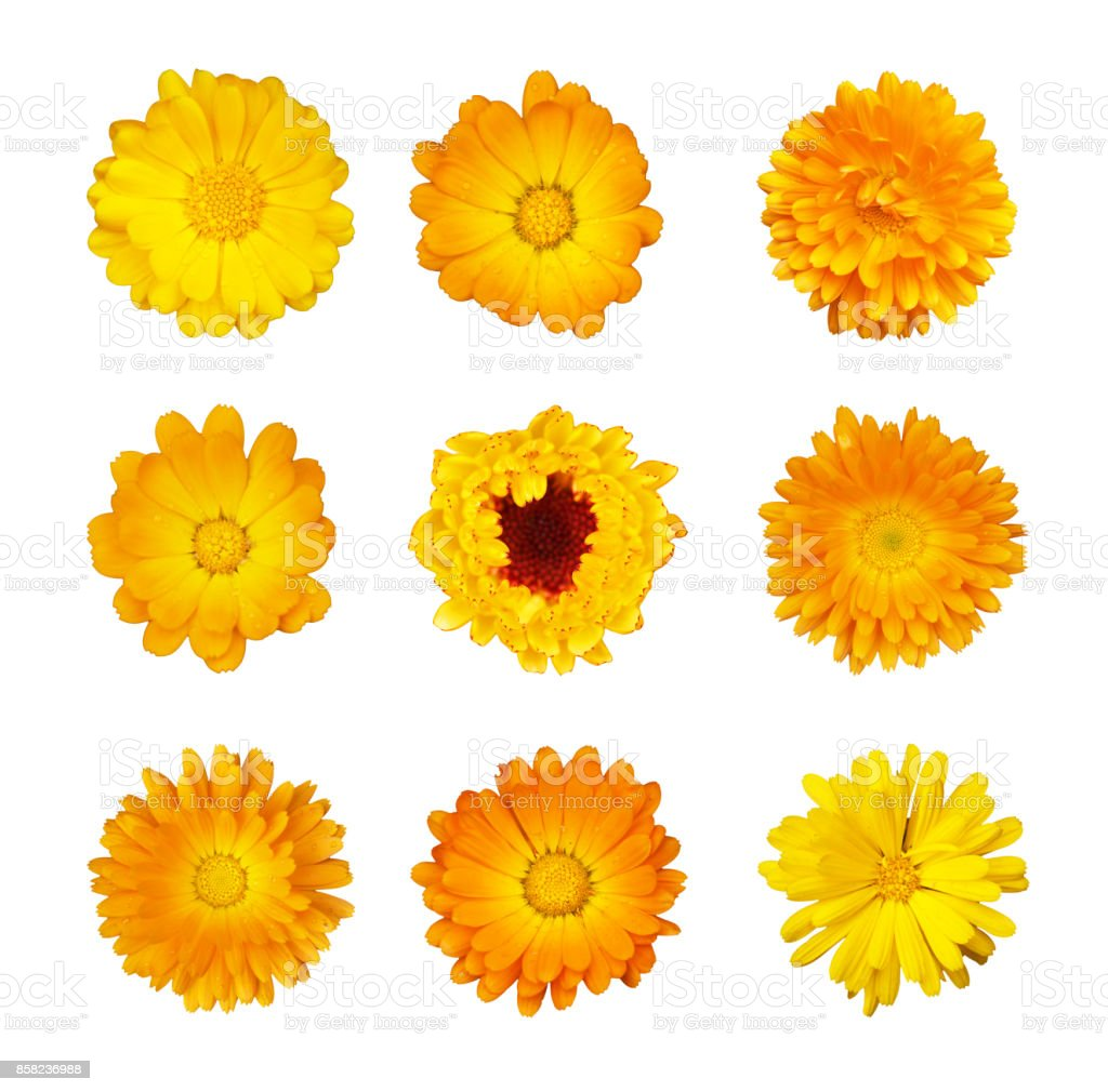 Collection of yellow and orange flowers of marigold medicinal isolated on white background stock photo