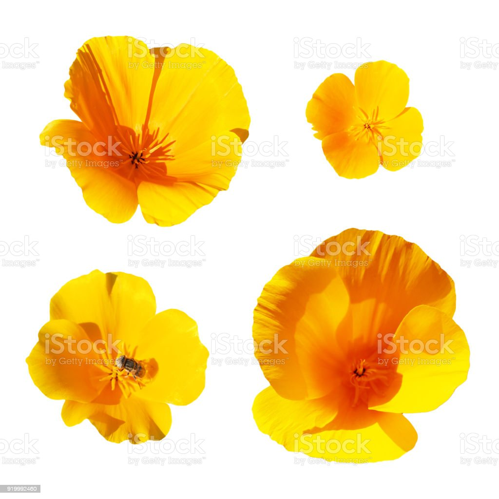 Collection Of Yellow Flowers Isolated On The White Background