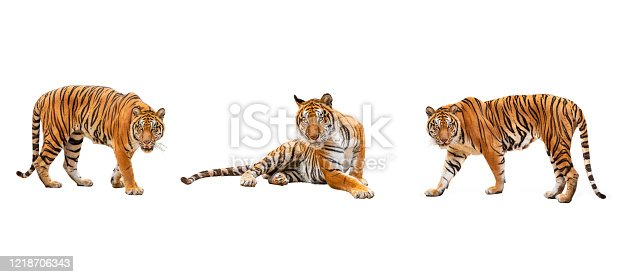 collection, royal tiger (P. t. corbetti) isolated on white background clipping path included. The tiger is staring at its prey. Hunter concept.