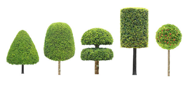 collection la valeur d'une forme différente d'arbre topiaire isolé sur fond blanc pour jardin de conception artistique style formel japonais et en anglais - buis photos et images de collection