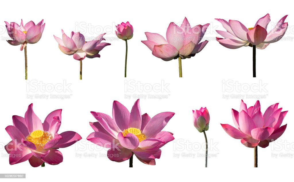 Collection set of pink lotus petal flower isolated on white background stock photo