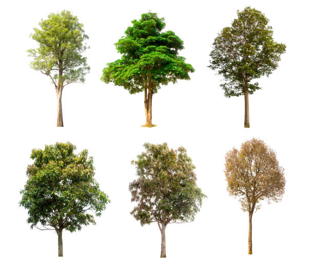 collection tree isolated on white background - trees stock photos and pictures