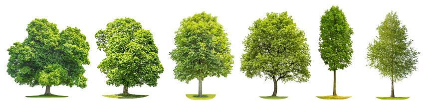 Bäume Ahorn Eiche Birke Kastanien Isolierte Natur Sammlungsobjekte Stockfoto und mehr Bilder von Ahorn