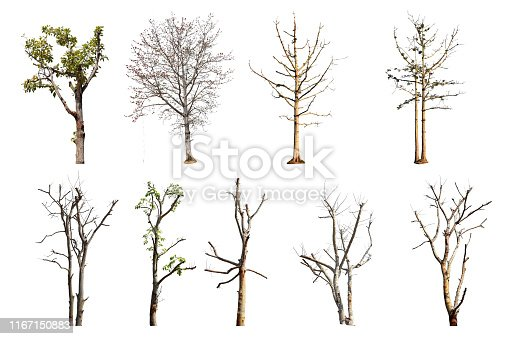 Collection trees without leaves isolated on white background. with clipping path.