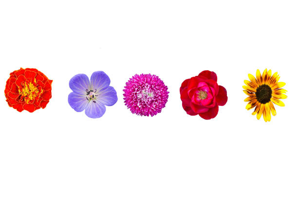 Collection wild and garden flowers isolated on white top view picture id1002094192?b=1&k=6&m=1002094192&s=612x612&w=0&h=j umvrwtrmqemyk4cvwbszq5g8czrijiqncvkb8njma=