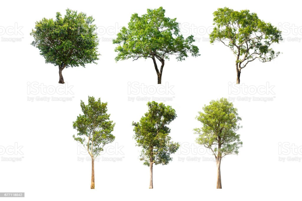 collections green tree isolated. green tree  isolated on white background. – zdjęcie