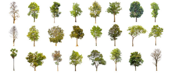 Collections green tree isolated green tree isolated on white picture id678387600?b=1&k=6&m=678387600&s=612x612&w=0&h= yhlzdtzdzmhoa21110zww6pct1ynwm7wpbpws5b40o=