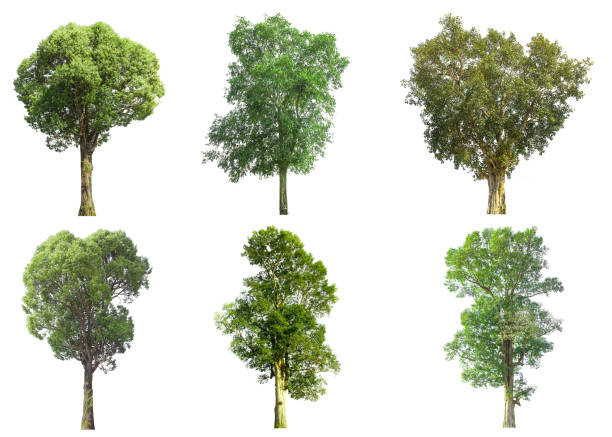 collections green tree isolated. green tree  isolated on white background. - trees stock photos and pictures
