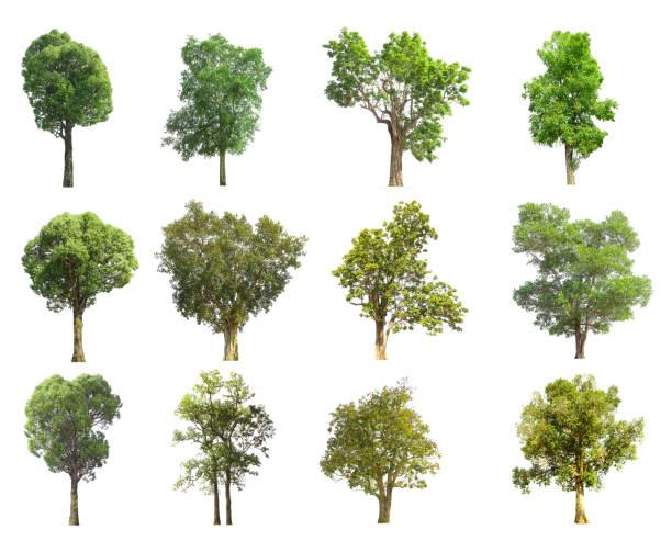 Collections green tree isolated green tree isolated on white picture id924797636?b=1&k=6&m=924797636&s=612x612&w=0&h=bcas4cy33vtgt1msq5mioejhmo5wzk9l  wzwalehbu=