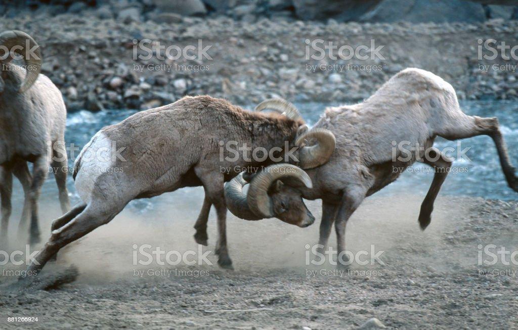 Colliding wild Rocky Mountain bighorn sheep hit horns South Platte River Waterton Canyon Colorado stock photo