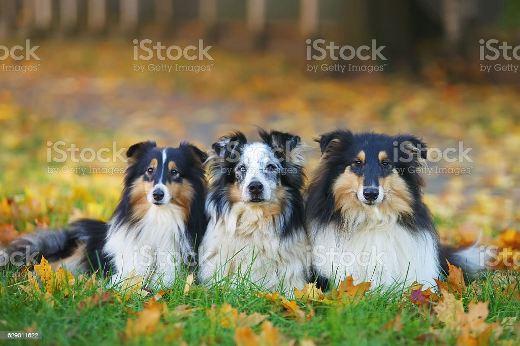 Collie and Sheltie dogs lying in green grass in autumn stock photo