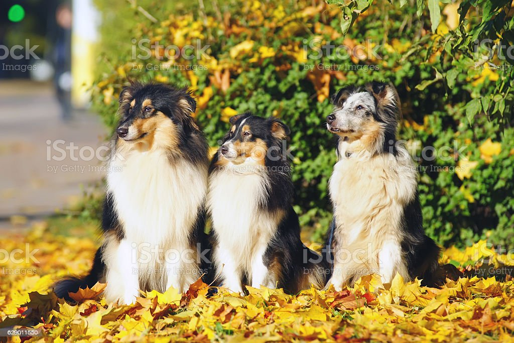 Collie and Sheltie dogs sitting around fallen leaves in autumn stock photo