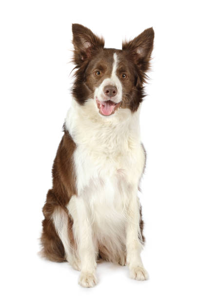 Collie border breed dog isolated on white background picture id954941058?b=1&k=6&m=954941058&s=612x612&w=0&h=wwa5 d kn4hdemgwhc smfa kgrxkpoi039t8jkar0o=