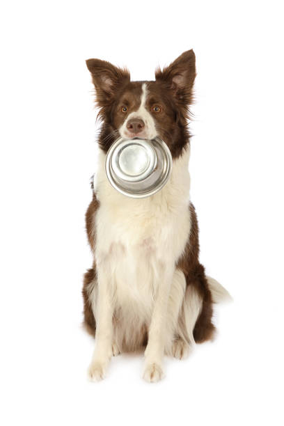 Perro de frontera Collie con contenedor vacío de alimentos para perros en la boca - foto de stock