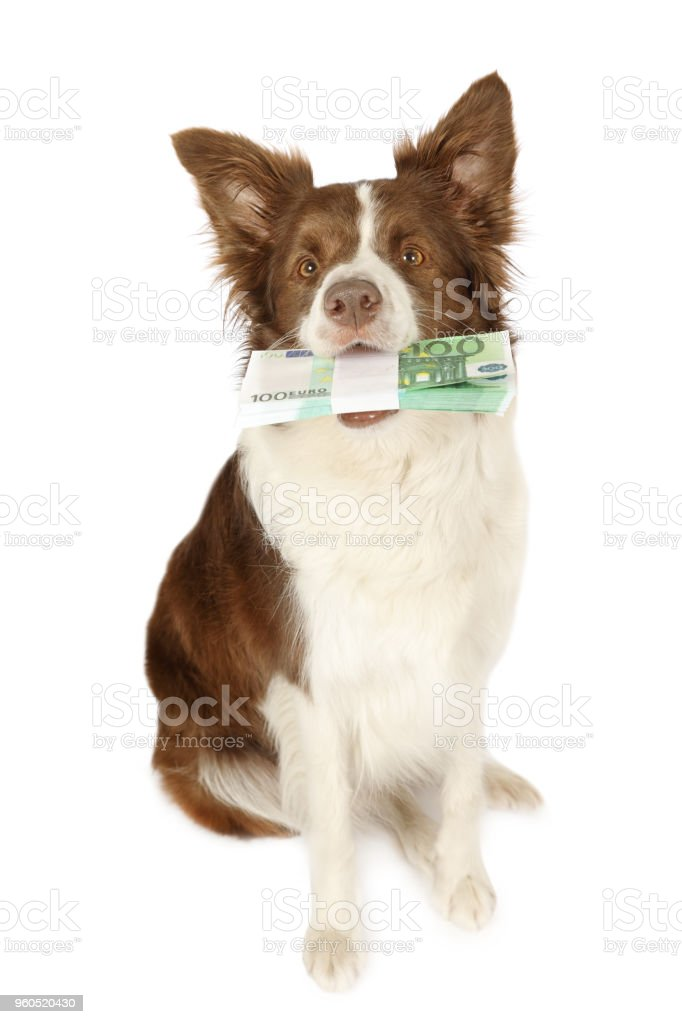 Collie border dog with the stack of bills one hundred Euro  in her teeth stock photo