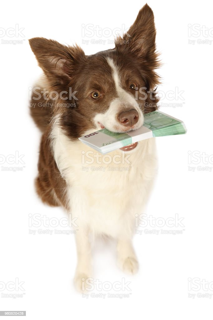 Collie border dog with the stack of bills one hundred Euro stock photo