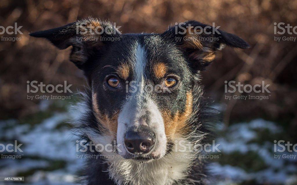 Collie Dog Close up stock photo