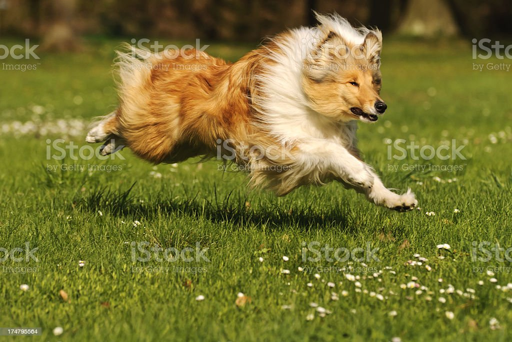 Collie dog in action stock photo