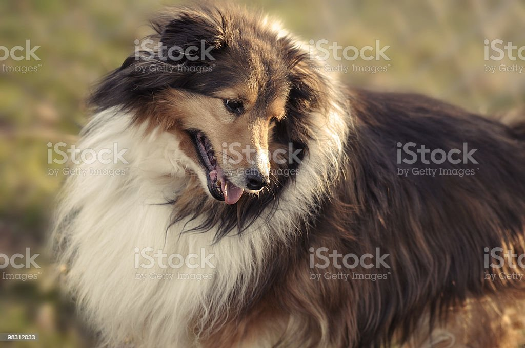 Collie cane nel sole foto stock royalty-free