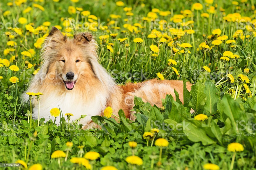 Collie dog lies in a spring meadow stock photo