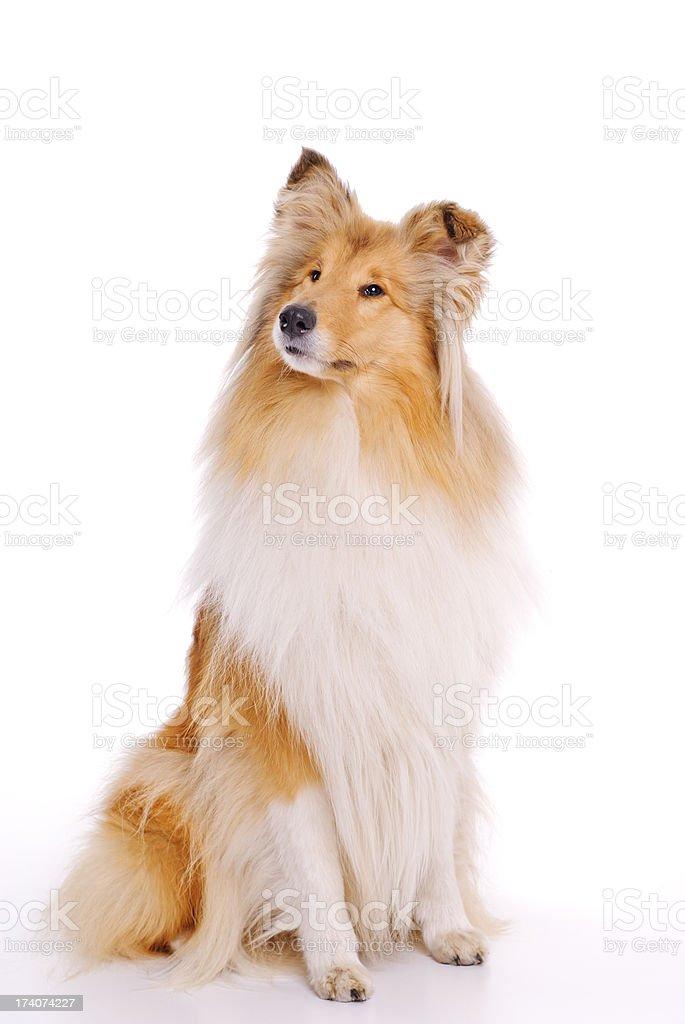 Collie dog stock photo