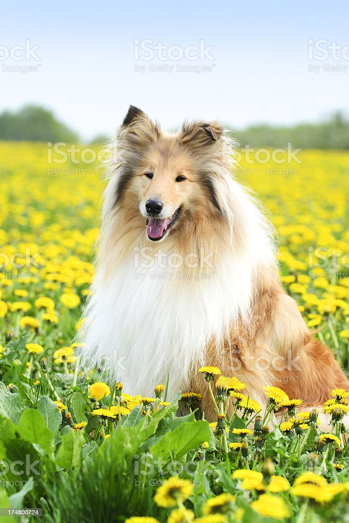Collie dog sitting in a spring meadow stock photo