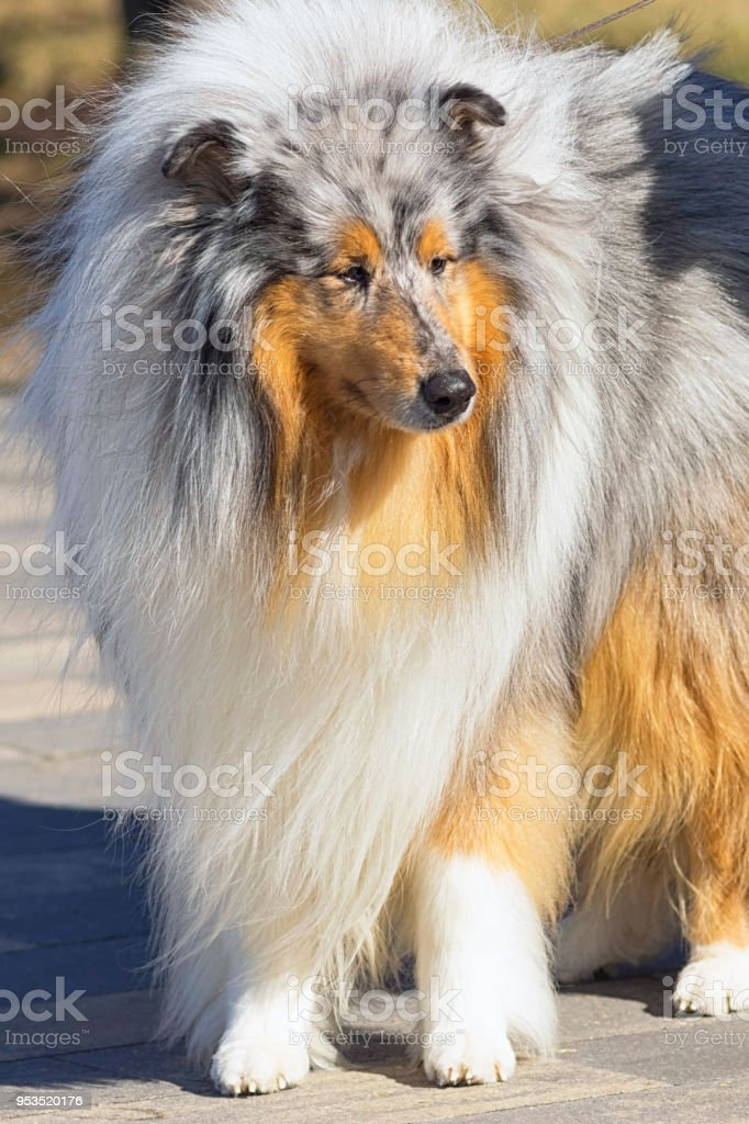 Collie, group of breeds of shepherd dogs originating from Scotland....