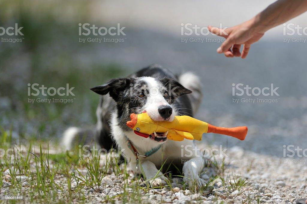 Collie sostiene amarillo juguete encargado de que siga el gesto de mano - foto de stock