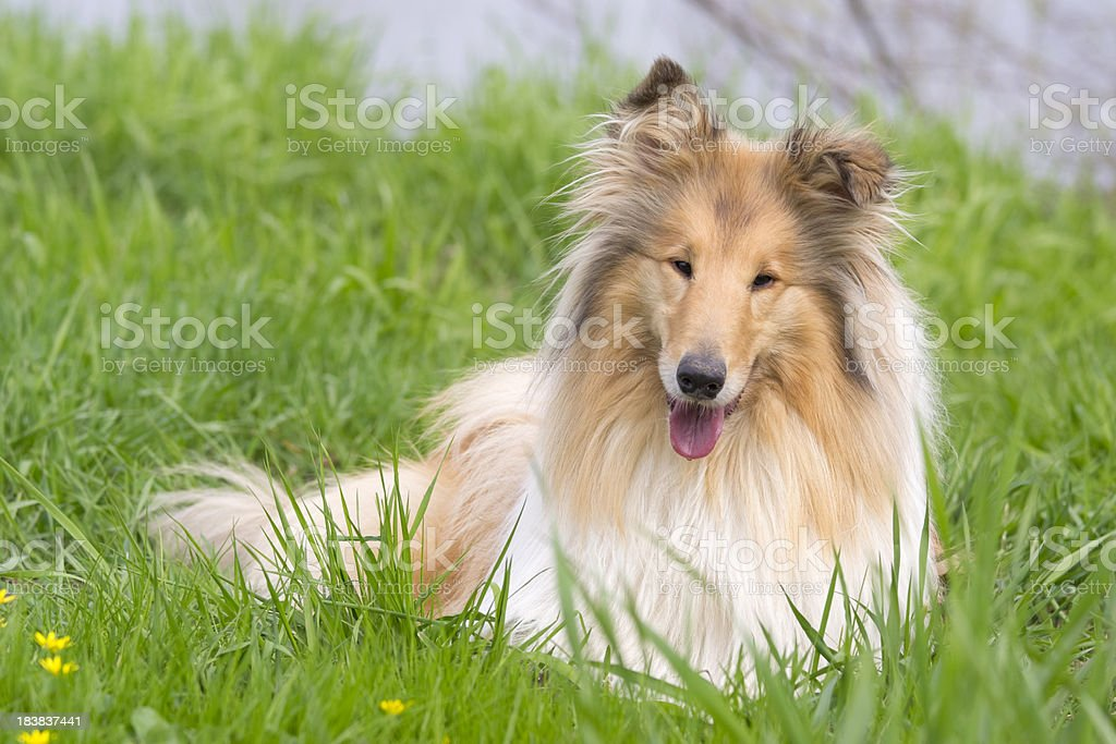 Collie in the grass stock photo