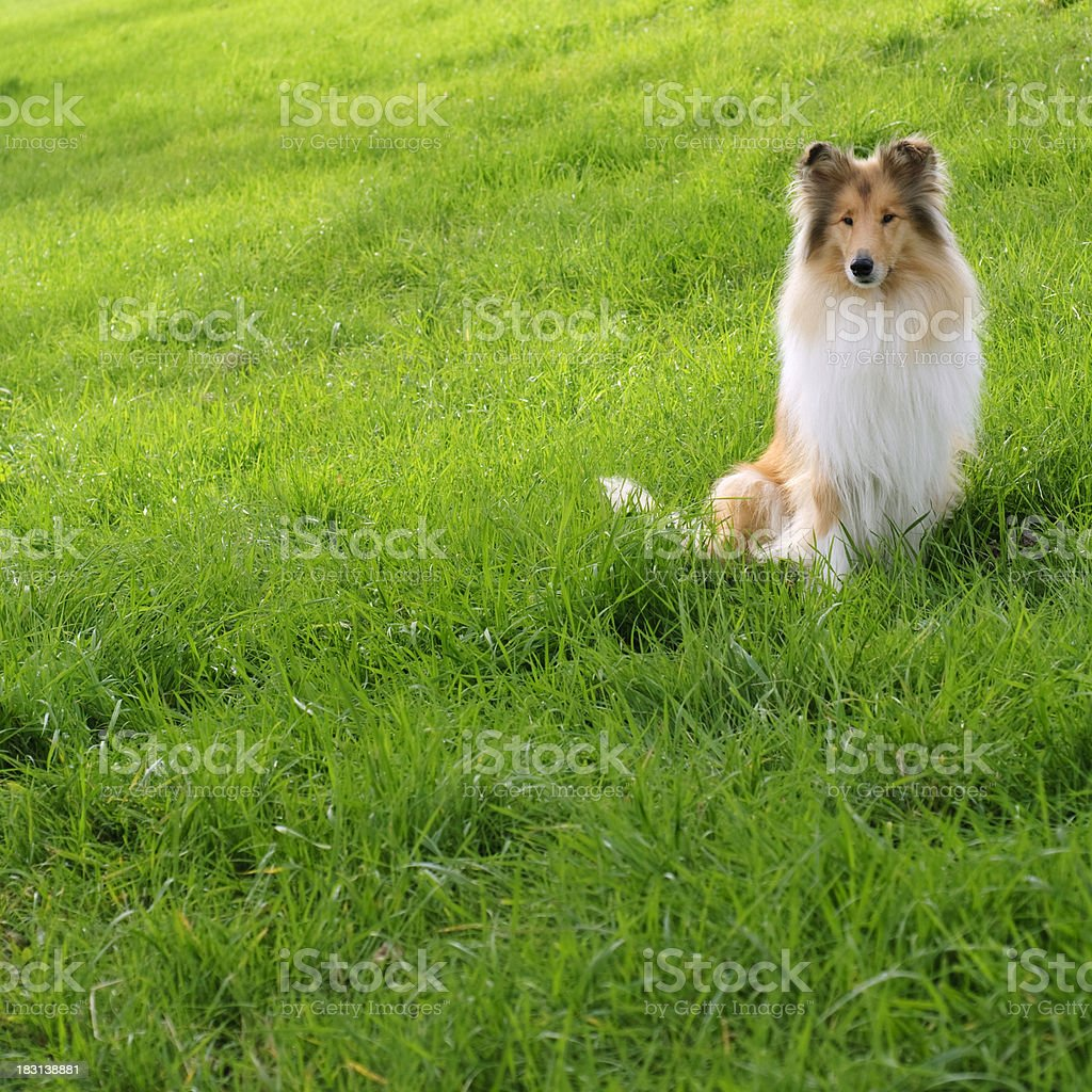 Collie in the green grass stock photo