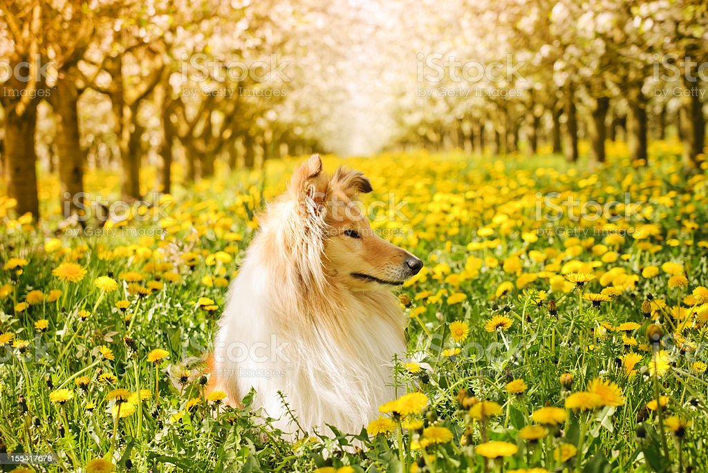 Collie in the spring stock photo