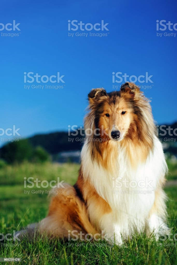 Collie is sitting on the green grass. royalty-free stock photo