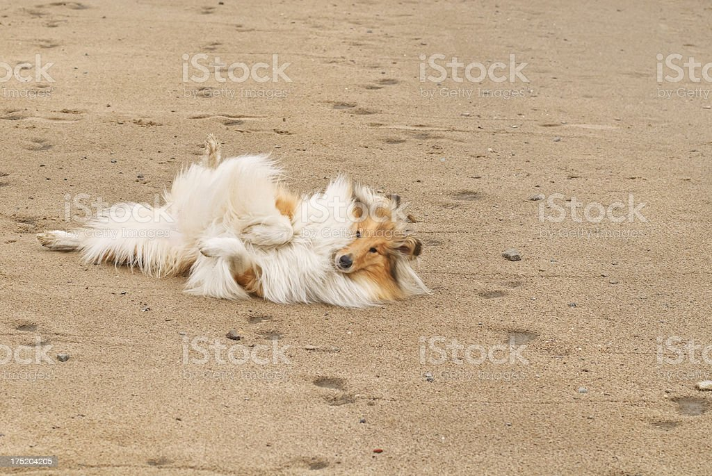 Collie lying in the sand royalty-free stock photo