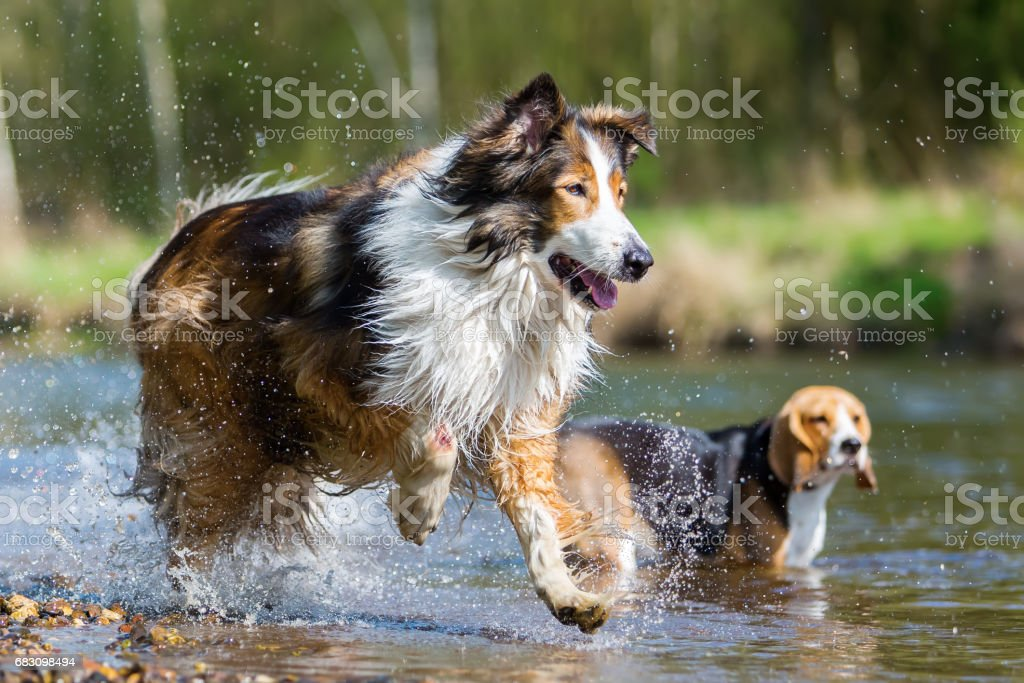 Collie mix and a Beagle at the river foto de stock royalty-free
