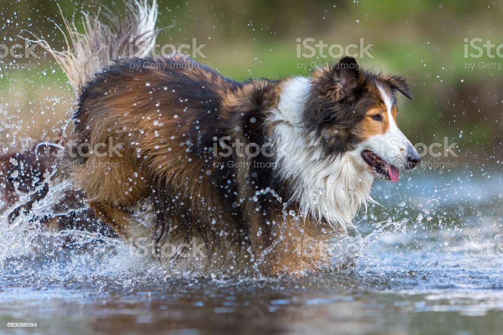 Collie mix dog running in the river foto de stock royalty-free