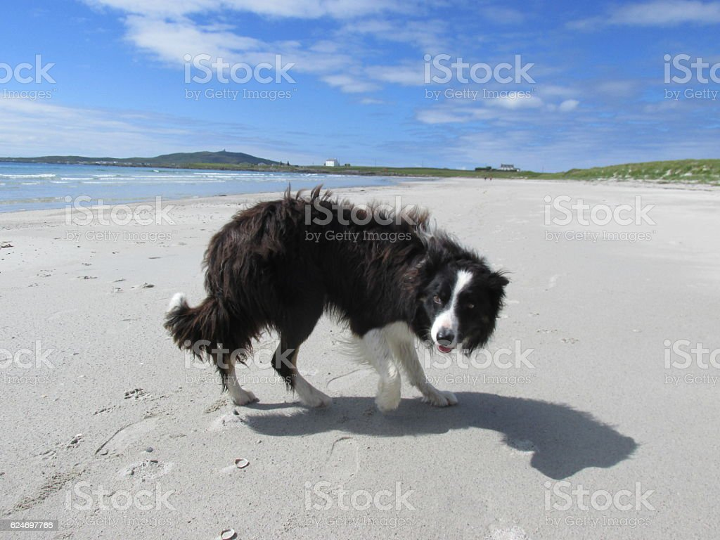 Collie on the beach stock photo