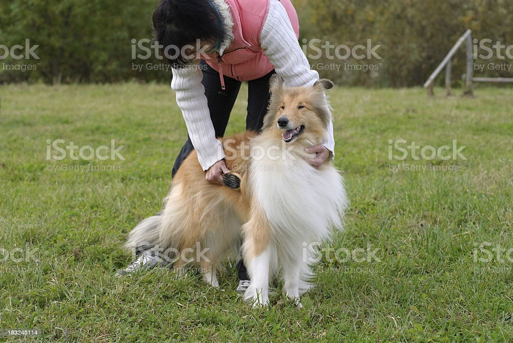 Collie outdoor royalty-free stock photo