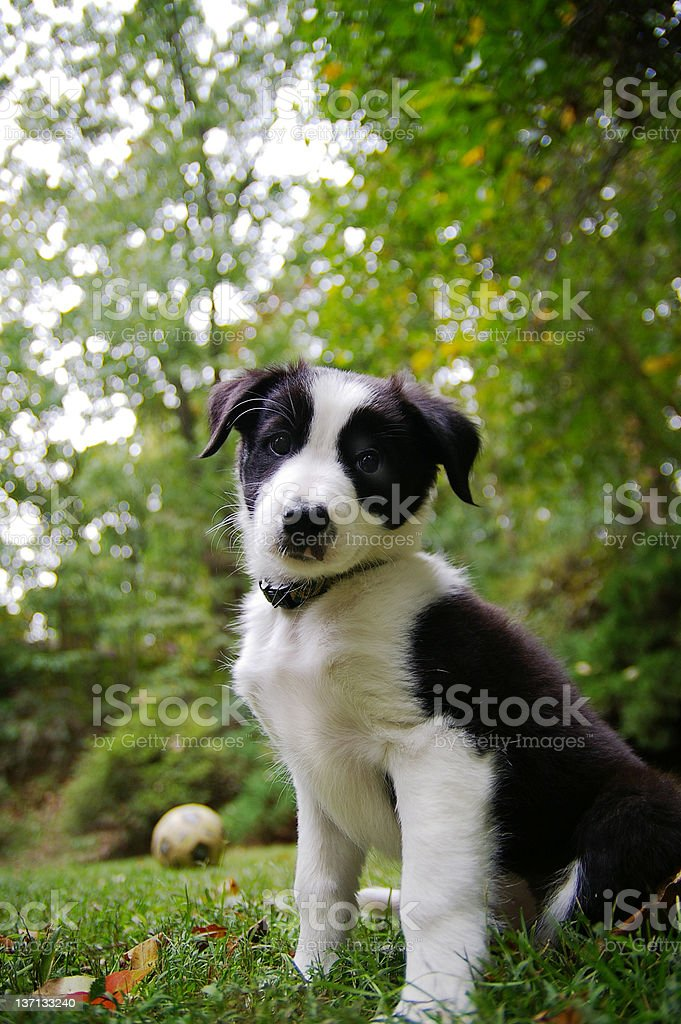 Collie pup royalty-free stock photo