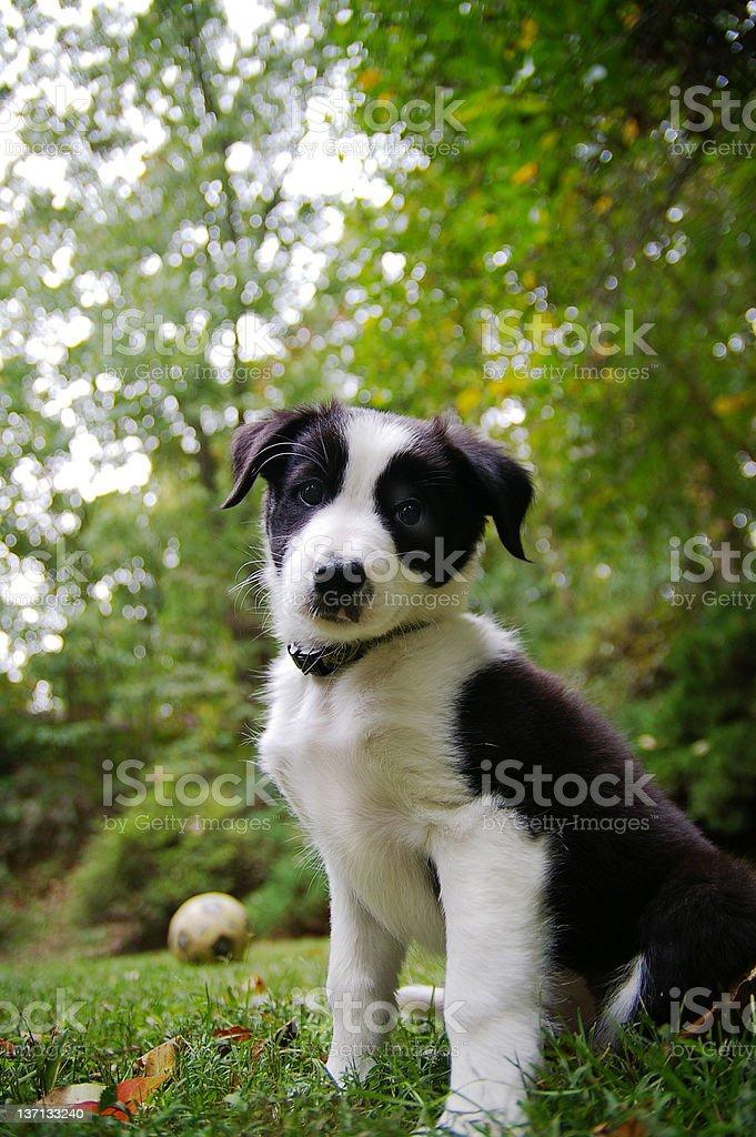 Collie Hund – Foto
