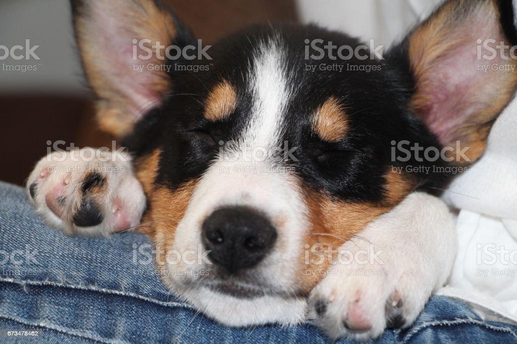 Collie Puppy Sleeping stock photo