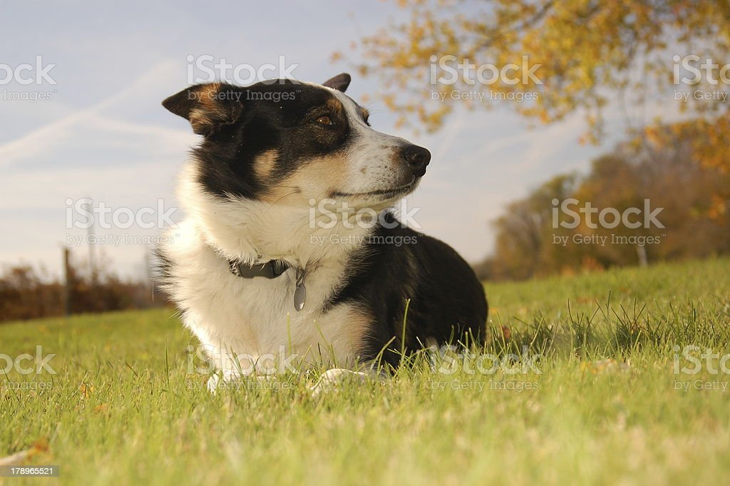 Collie Shepherd Breed with Dog Tags On stock photo