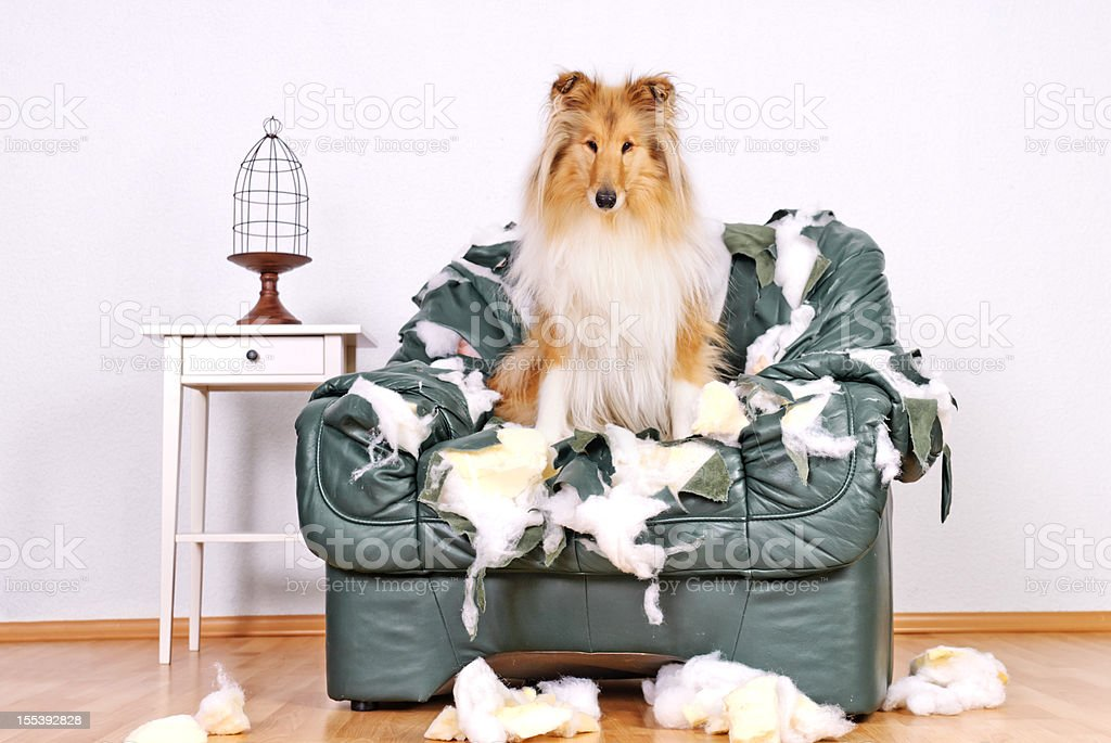 Collie sitting in tattered leather chair stock photo