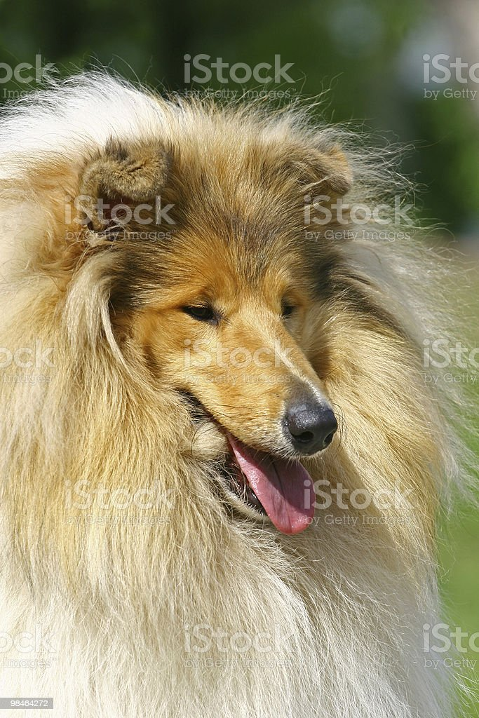 Collies portrate royalty-free stock photo