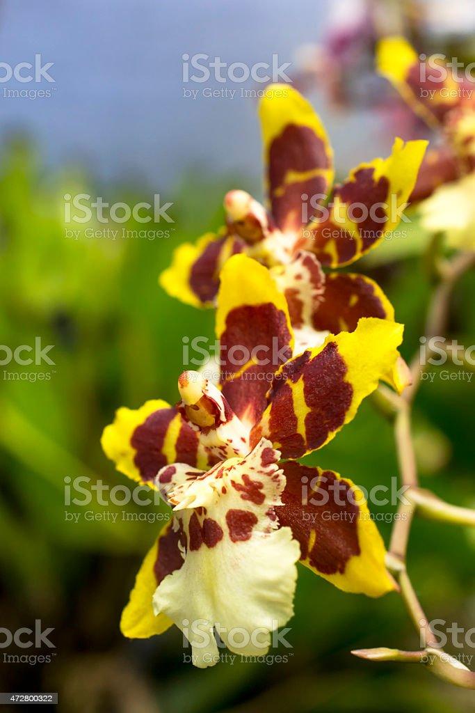 Colmarara Orchids stock photo