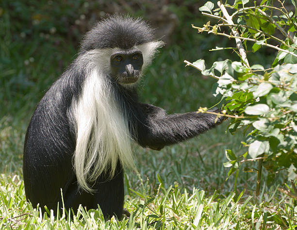 Colobus Monkey in the wild, eating from a tree, Kenya stock photo
