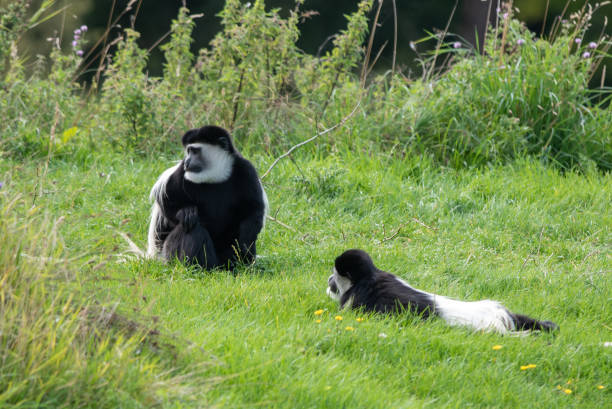Colobus Monkey stock photo